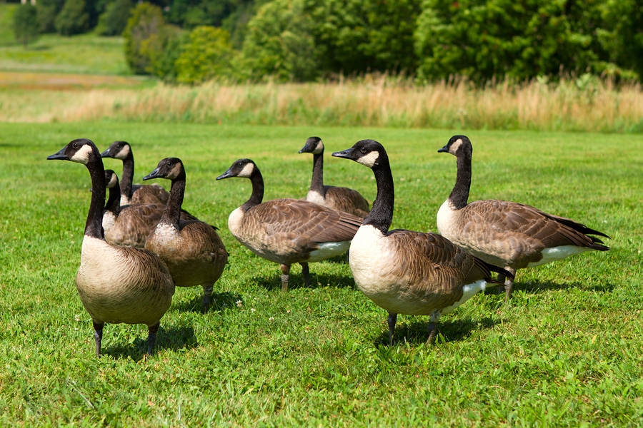 Canada Geese Control & Removal
