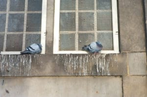 pigeon droppings