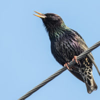 Starling removal & Control