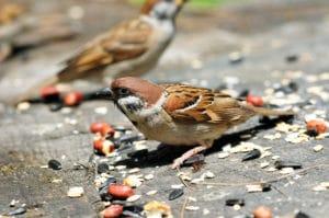 sparrow control